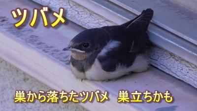 巣から落ちたツバメ