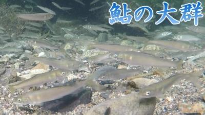 鮎の大群水中撮影