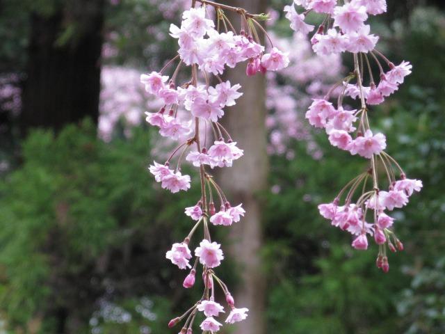 八重しだれ桜