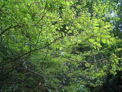 姫岩横のコバンノキ