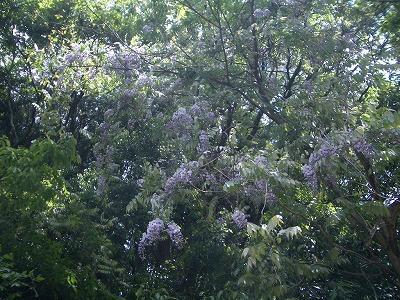 才が原林道のフジの花も満開で〜す