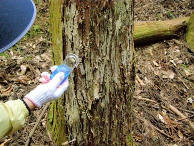 木にイノシシが体を擦りつけた痕、イノシシの毛が付着しているか観察
