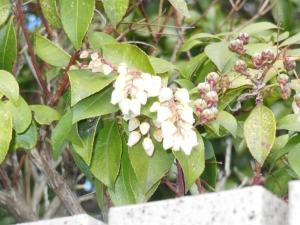 有馬街道沿いの馬酔木の花:馬が葉を食べると毒に当たり酔ったようになる木の意味からしい