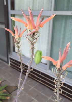 アロエ・サポナリア(Aloe saponaria)