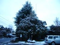 コノテガシワ雪吊り