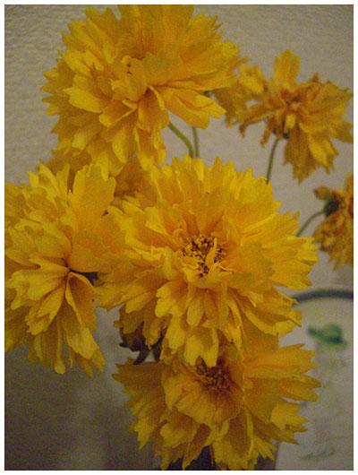 黄色いお花。金鶏菊。