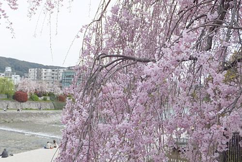 京都・三条大橋の桜