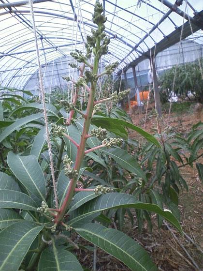 マンゴー花