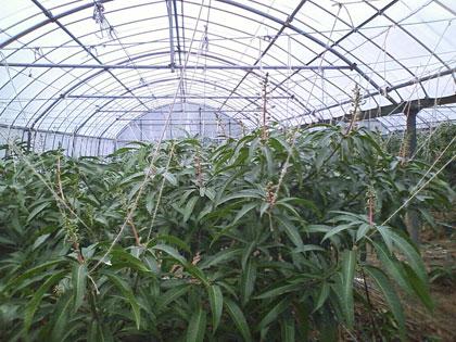 マンゴー花ハウス