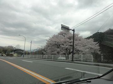 桜を見ながら