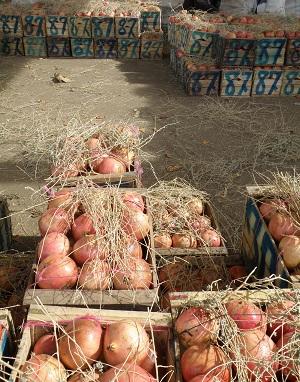 モロッコ 果物