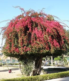 モロッコ 木