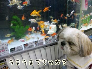金魚とガク