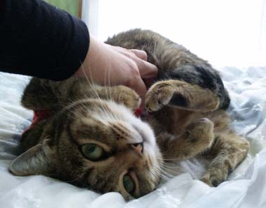 キジ猫キーコ
