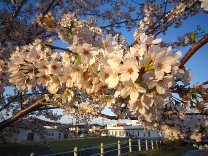 桜とシーズー