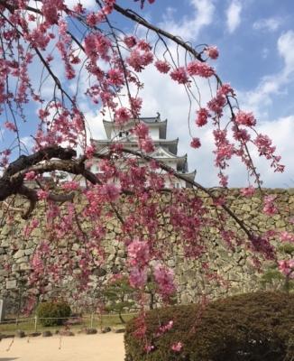 お城桜.JPG