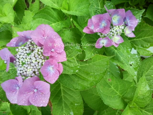 2014-6-22嬉しい雨by紫陽花.jpg