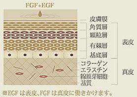F.G.F(線維芽細胞成長因子)
