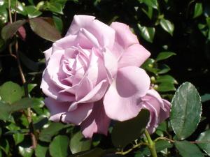 紫のバラ?