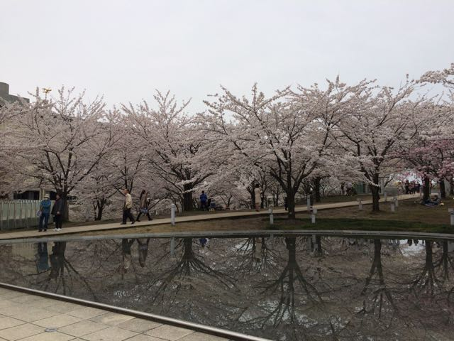空中庭園_桜