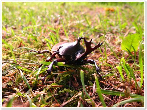 千曲 金峰山 カブト虫