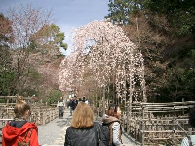 竜安寺 桜