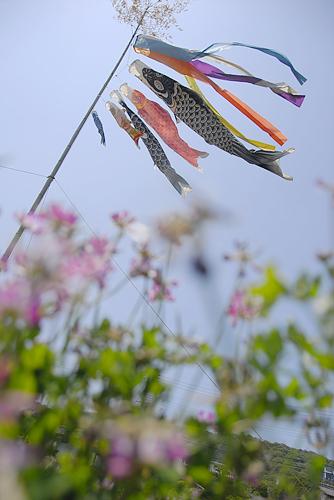 島本鯉のぼり