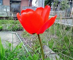 チューリップ・赤