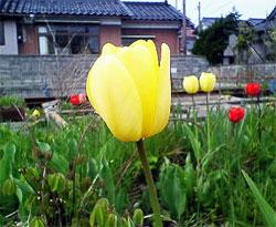 チューリップ・黄色