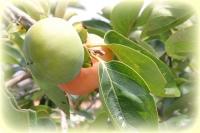 青い柿の実