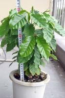 珈琲の樹600日