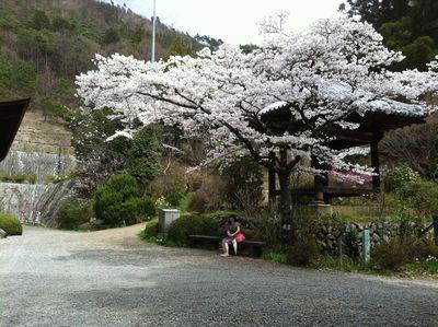 満開の桜と我が妻