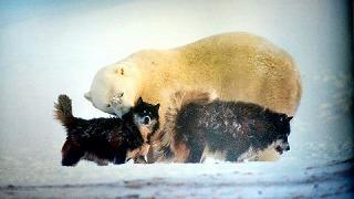 シロクマと犬