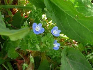 春の小さな花たち