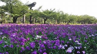大村の花菖蒲