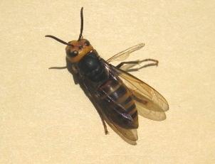 ひん死のコガタスズメバチ