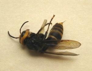 コガタスズメバチ死す