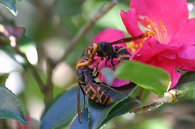 争うコガタスズメバチ