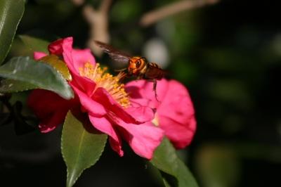 山茶花の蜜を独り占めするハチ