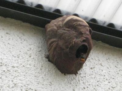 コガタスズメバチの巣とハチ