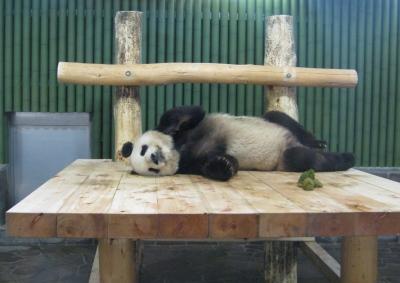 寝ながらうんちするパンダ・コウコウ1