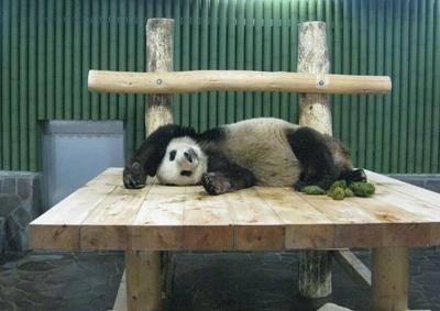 寝ながらうんちするパンダ・コウコウ3