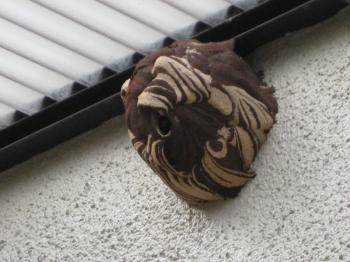 コガタスズメバチの巣・右側面