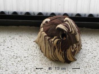 コガタスズメバチの巣・正面
