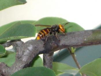 樹液を吸っている!?コガタスズメバチ(1)