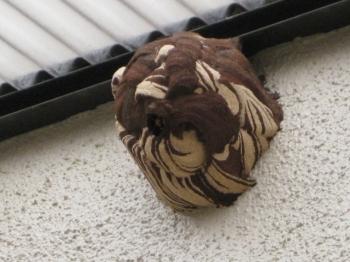 コガタスズメバチの巣右側面