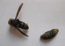 コガタスズメバチと幼虫の死骸