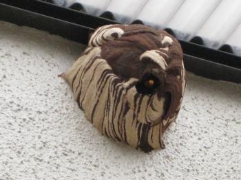 コガタスズメバチの巣左側面