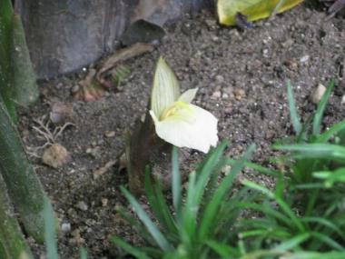 茗荷に花が咲いて