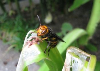 アマリリスの葉をかじるコガタスズメバチ2